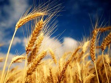 quran-science: wheat-beautiful