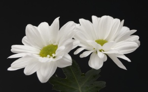 white-flower-wallpaper-7